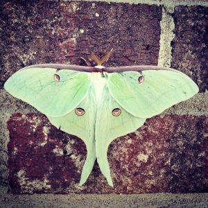 ルナという綺麗な蛾